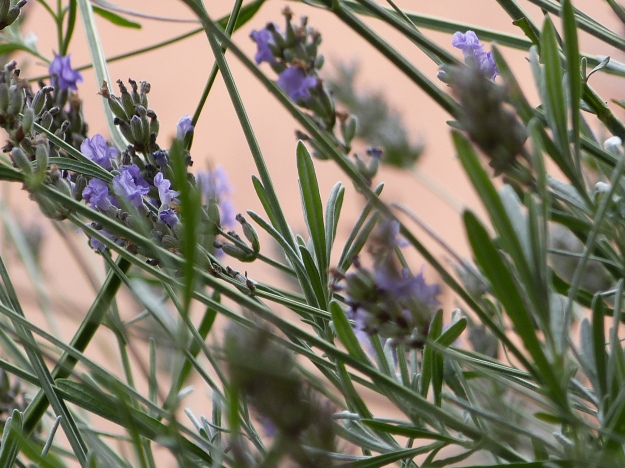 Lavender a fragrant favourite